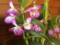 デンドロビウム開花