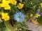 ニゲラ開花