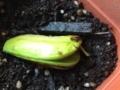 マンゴー発芽