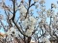 桜の花 (暖地)