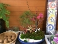 松竹梅寄植え紅梅