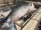 Fwd: 鮭