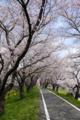 [桜]]2016403 荒川周辺5