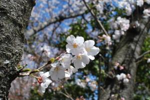 2011-04-04家の前の桜。