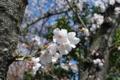[日常]2011-04-04家の前の桜。