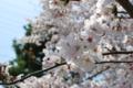 [日常]2011-04-10武庫川の桜1
