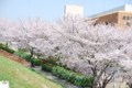 [日常]2011-04-10武庫川の桜2