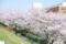 2011-04-10武庫川の桜2
