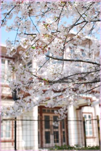 2011-04-10今津六角堂の桜