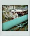 [日常]桜と阪急電車。