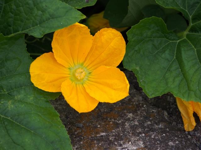黄色のお花が咲きます!(食べられません)