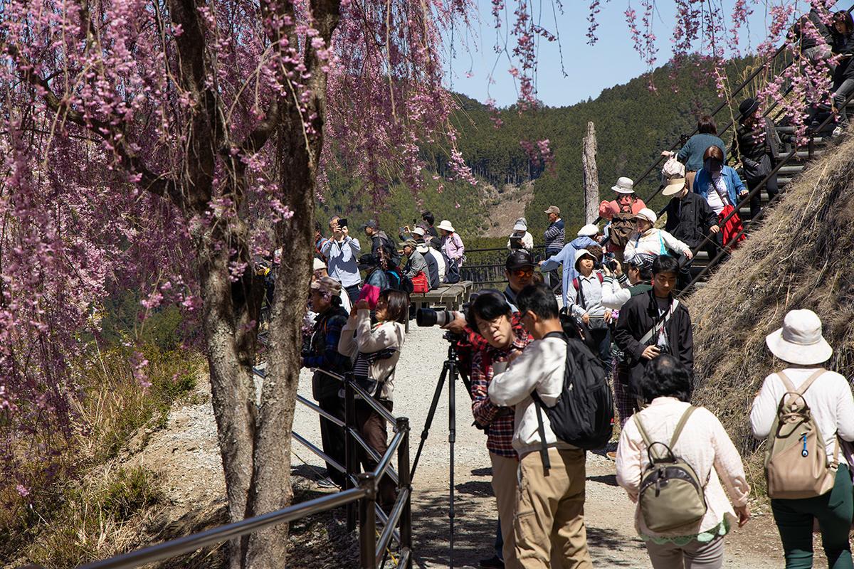 東吉野村高見の郷、1000本のしだれ桜