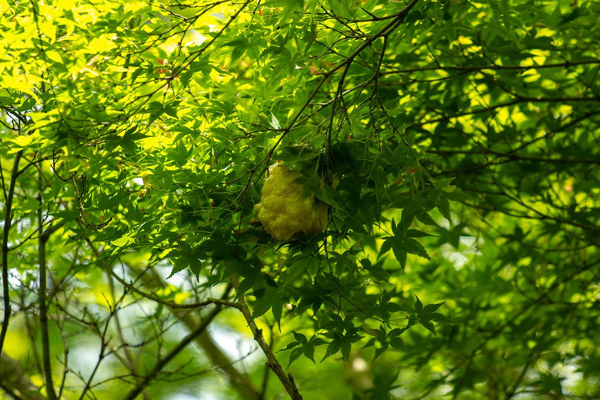 モリアオガエルの産卵、京都嵯峨野檀林寺