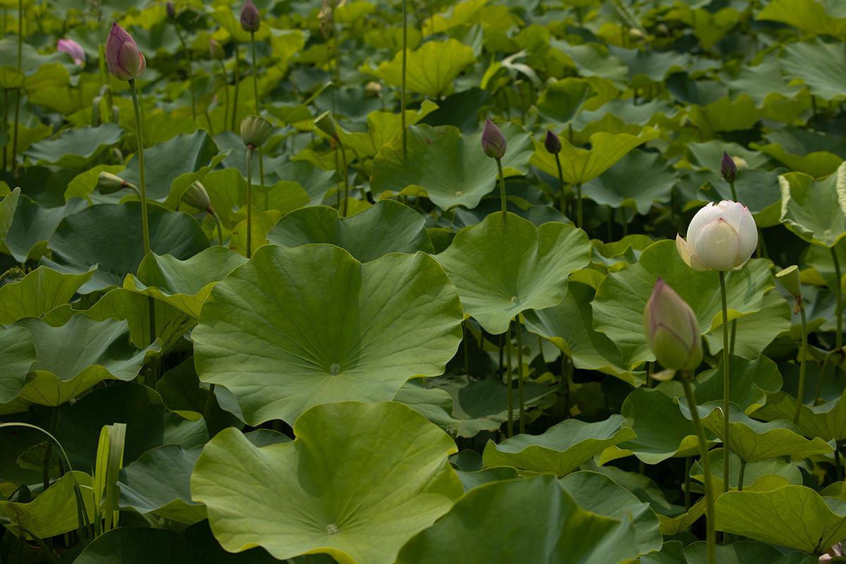 藤原宮跡5つの花ゾーンで蓮の花を観賞する