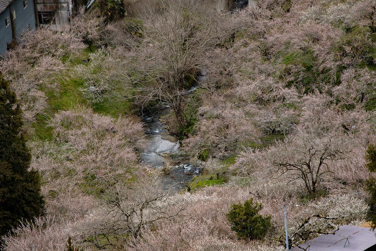 奈良県西吉野の賀名生(あのう)梅林