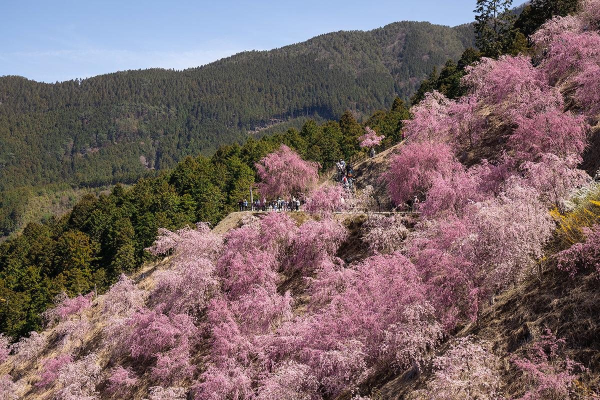 奈良県高見の郷の桜