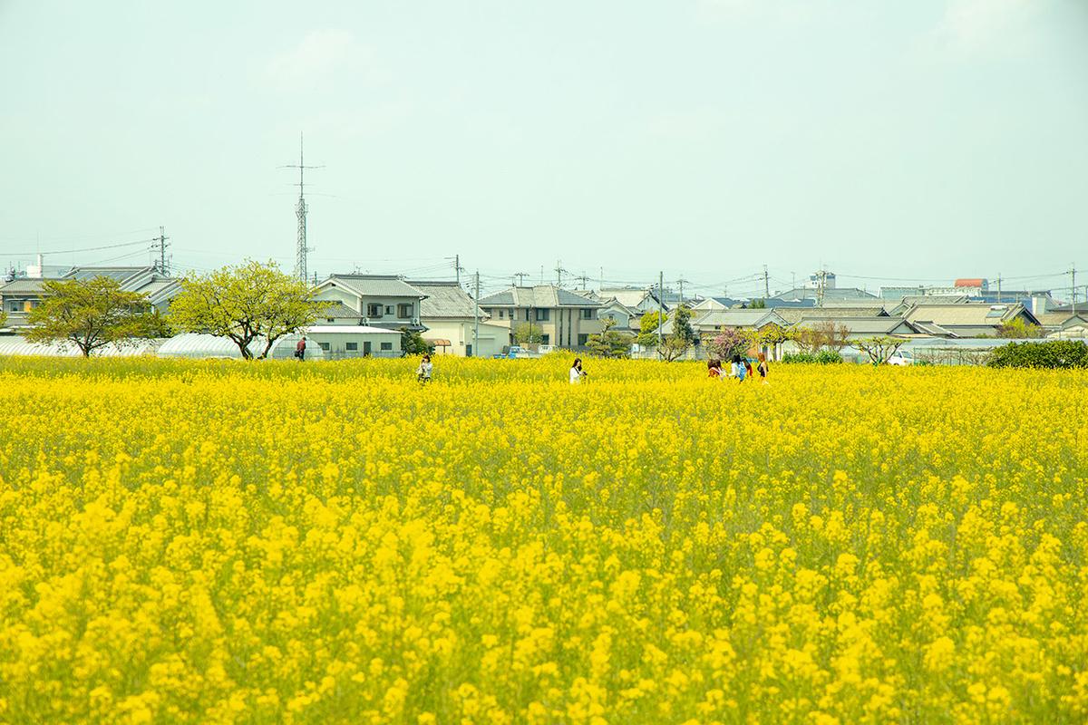 奈良県藤原京の菜の花