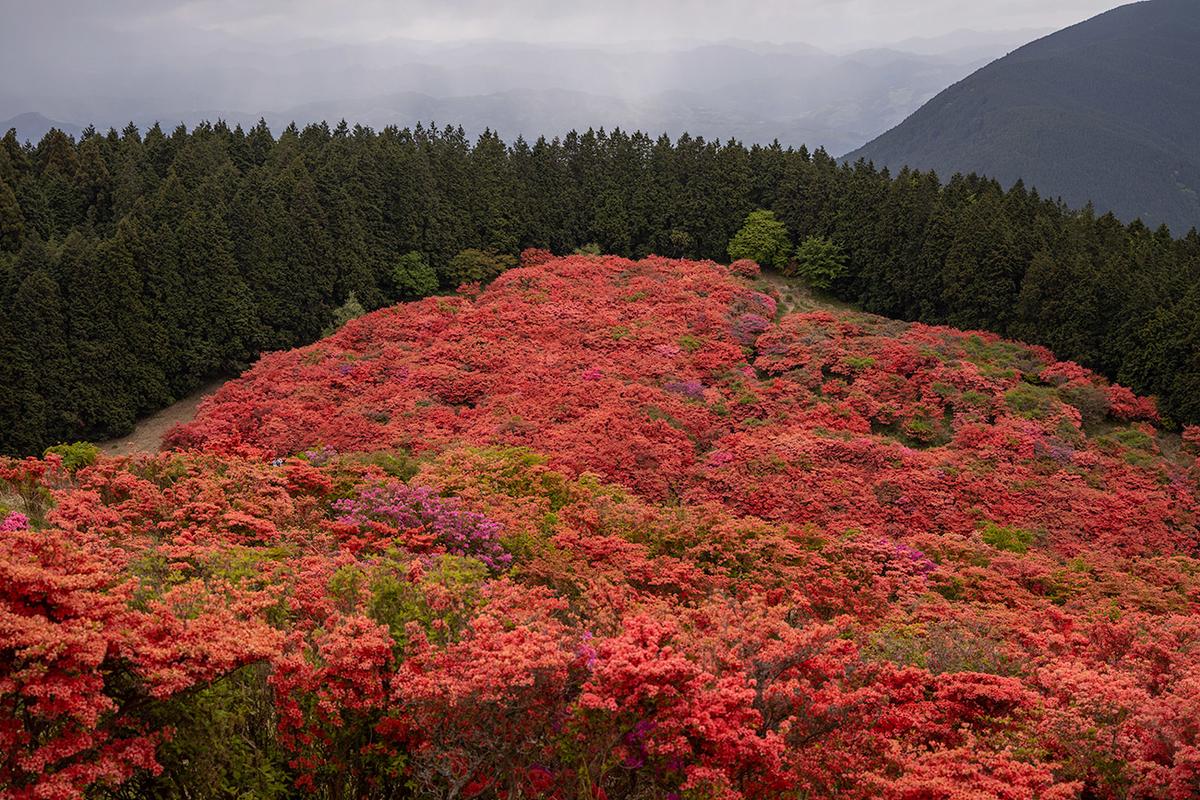 奈良県二上山のツツジ