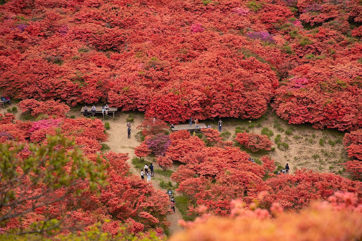 奈良県葛城山のツツジ
