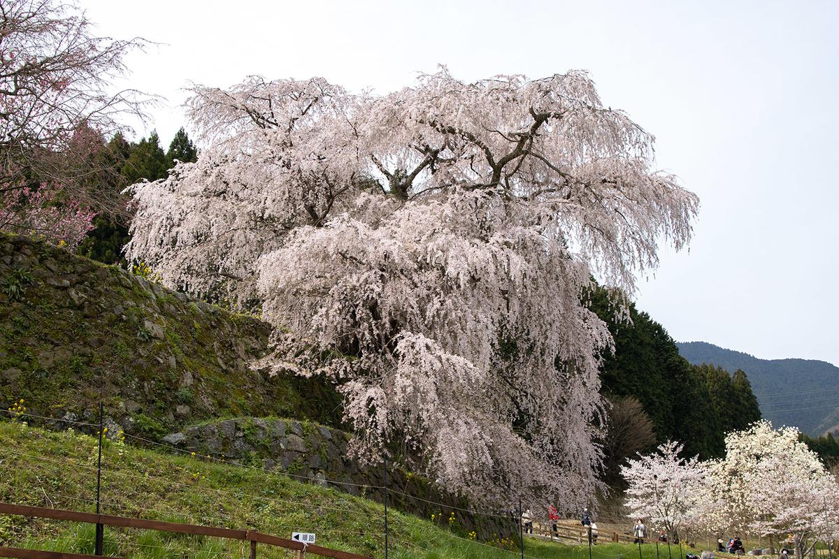 奈良県宇陀市又兵衛桜