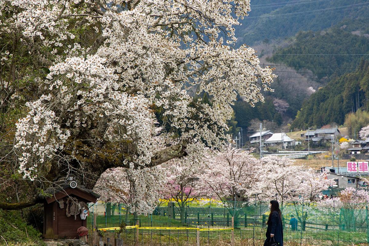 奈良県又兵衛桜