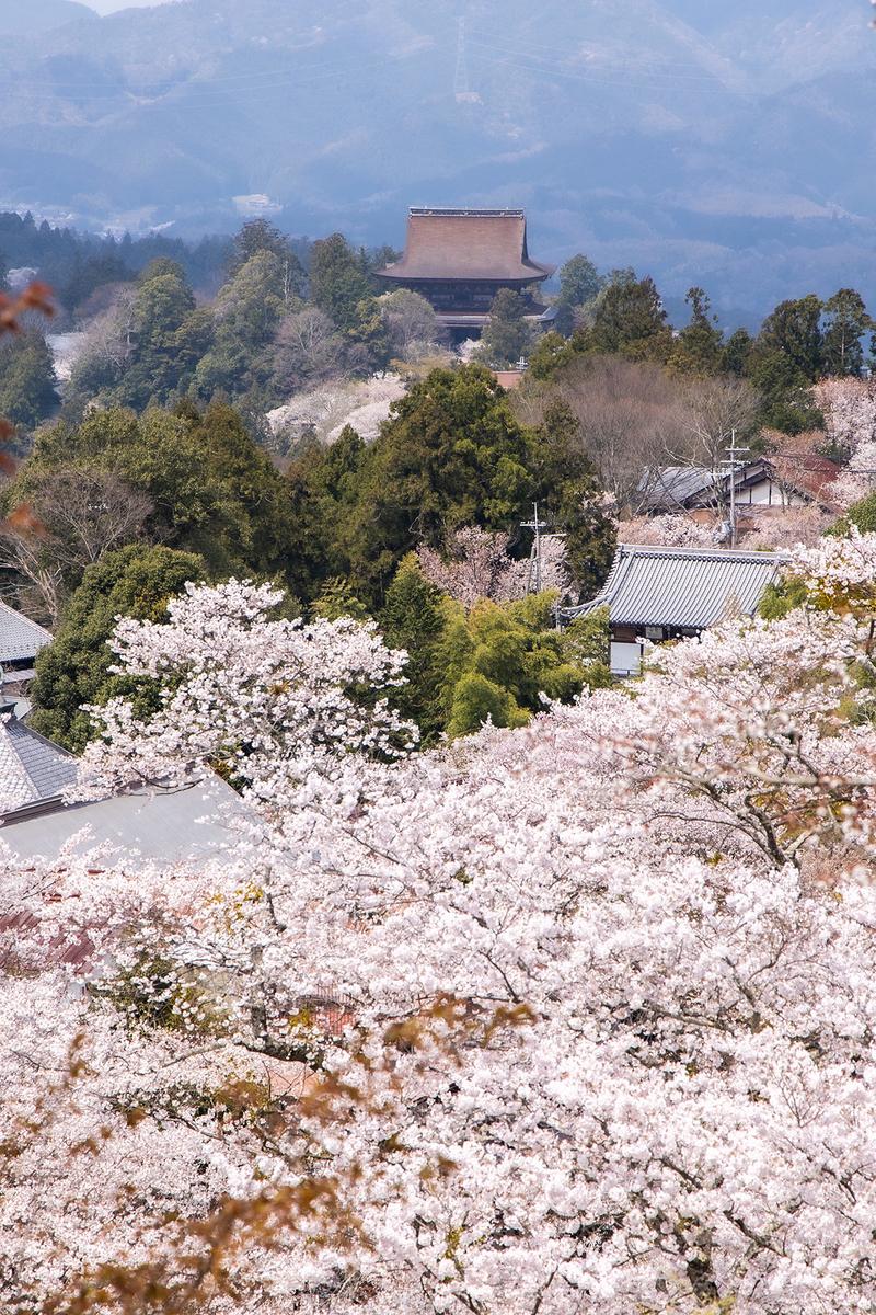 奈良県吉野山の桜