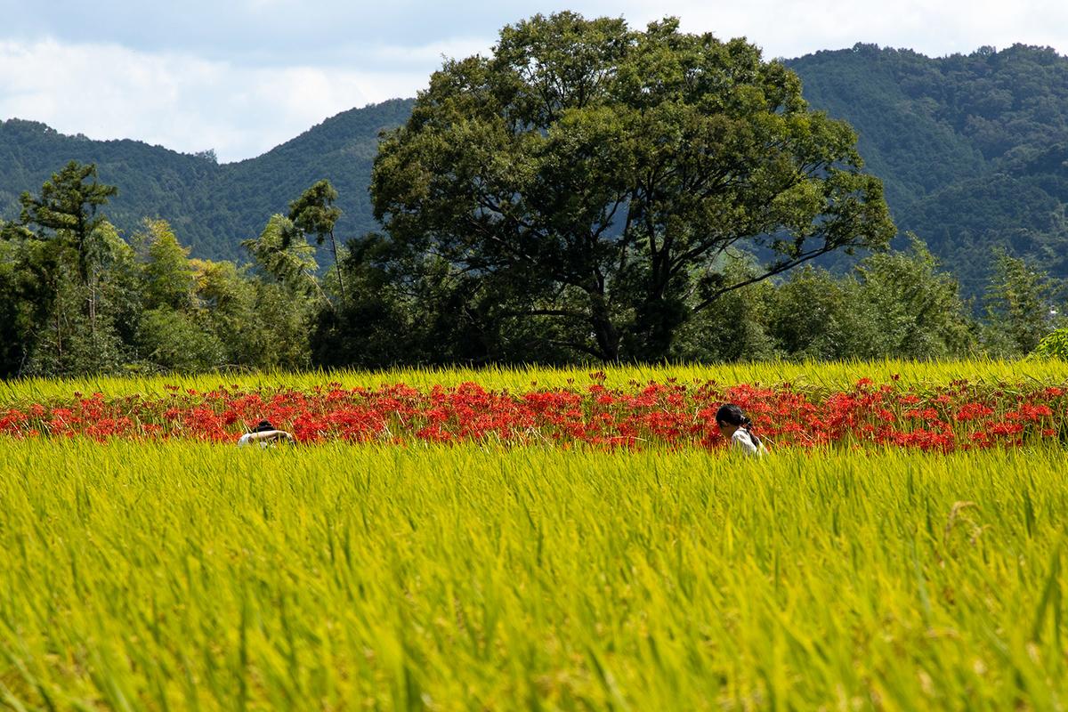 奈良県葛城の彼岸花
