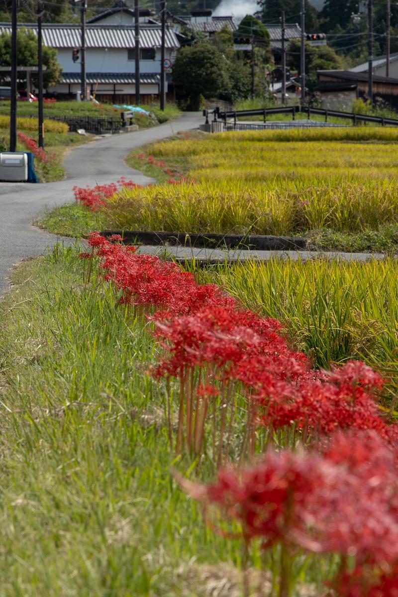 奈良県明日香村の彼岸花