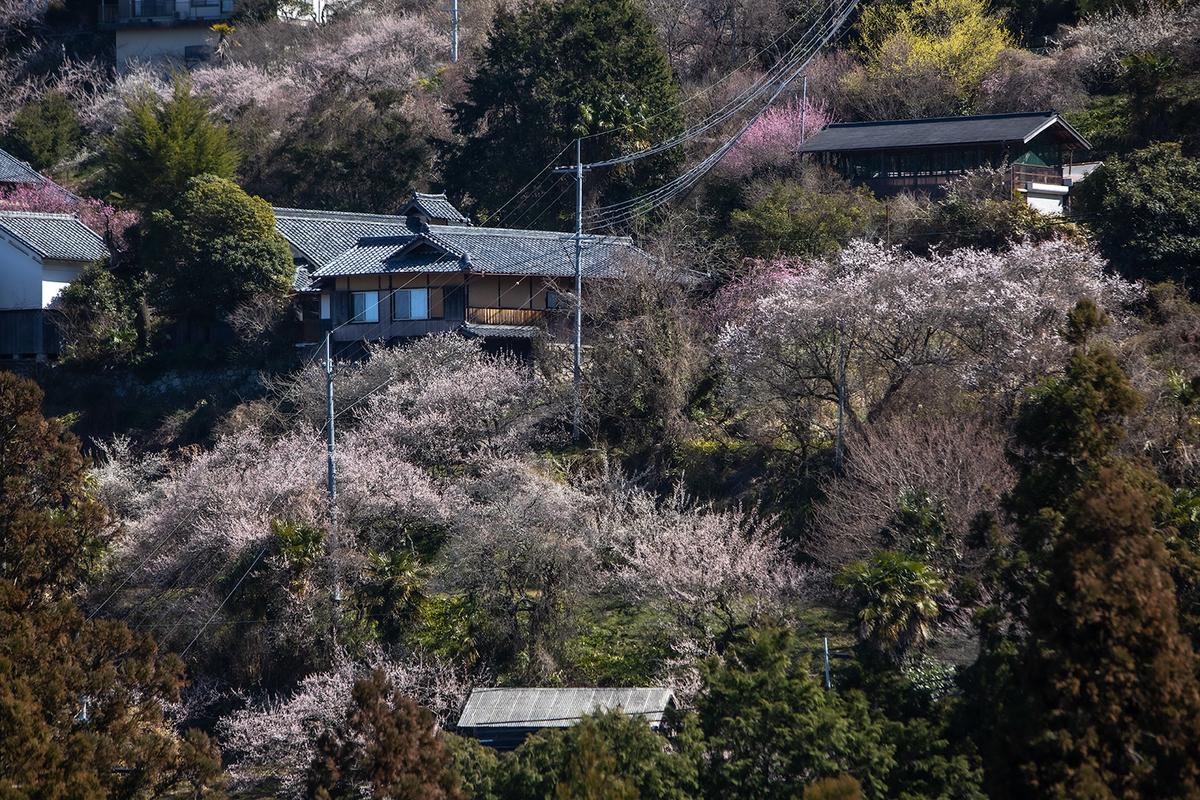 奈良県の絶景スポット。西吉野町 南朝の里 賀名生梅林
