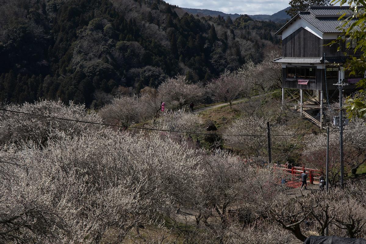 国名勝指定・県立自然公園の月ヶ瀬梅渓