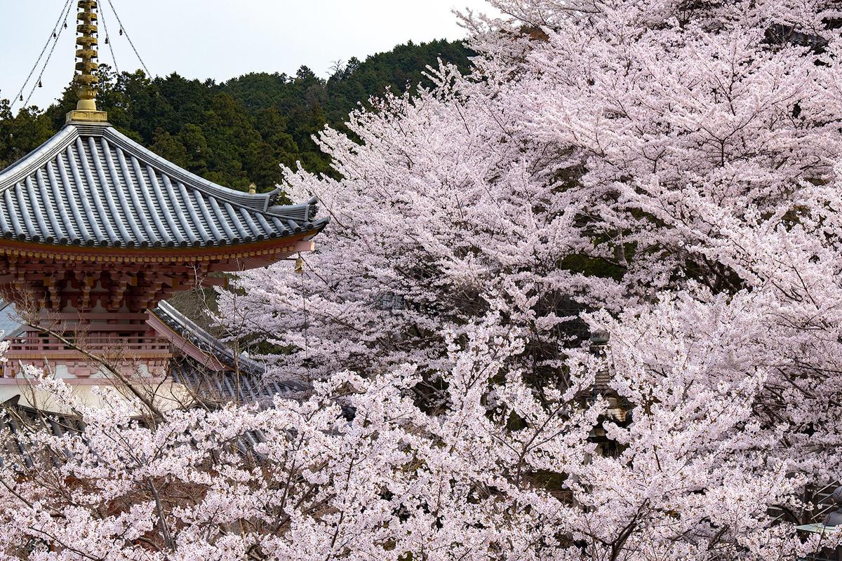 奈良県の桜の名所壷阪寺