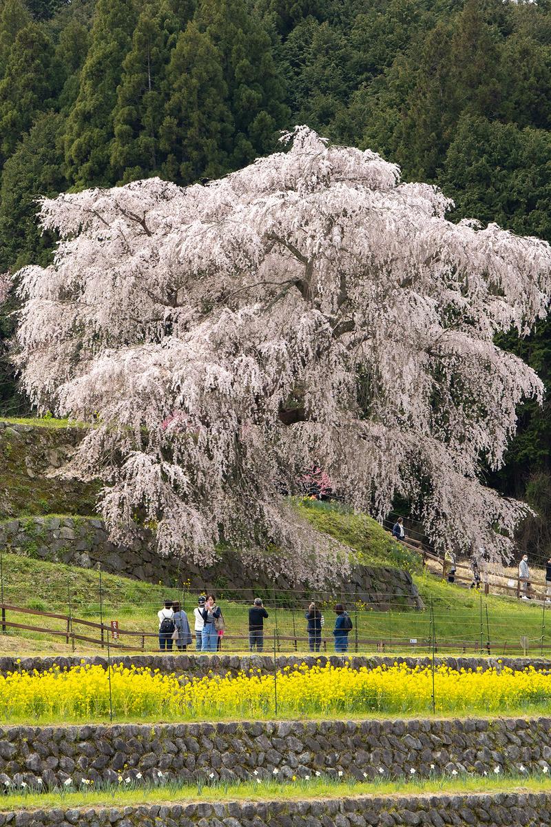 奈良県の桜の名所樹齢300年のしだれ桜、又兵衛桜。