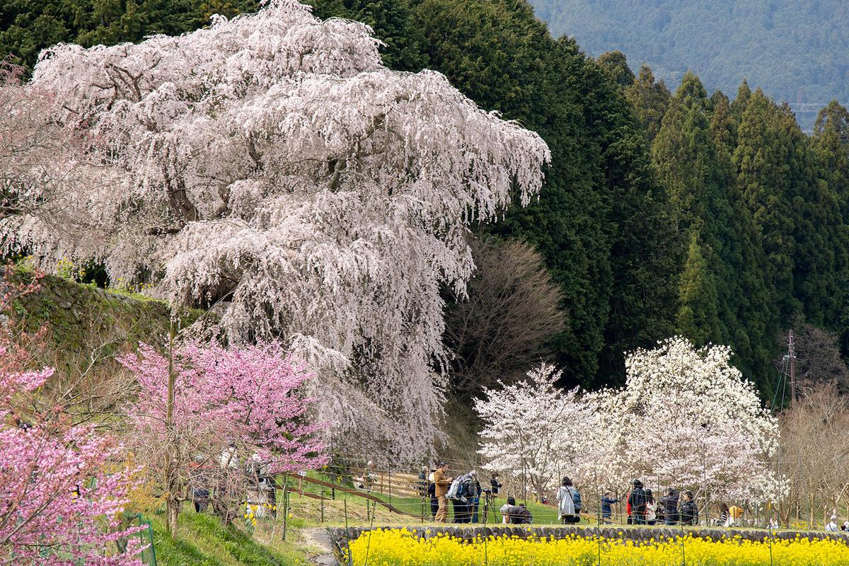 奈良県の桜の名所 樹齢300年のしだれ桜、又兵衛桜。