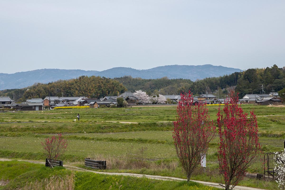 奈良県の桜の名所 飛鳥川沿いの桜並木