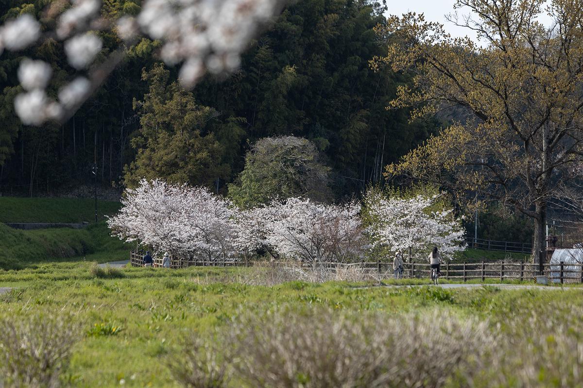明日香村の桜