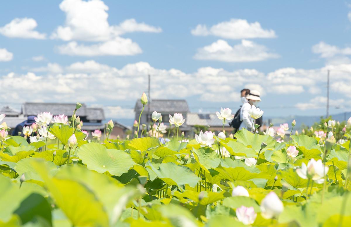 奈良県、藤原京跡にて約3,000平方メートルのハスゾーンが見頃。