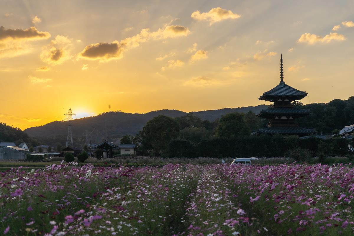 コスモス畑と法起寺