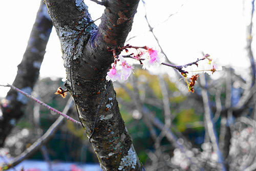 犬山成田山の四季桜