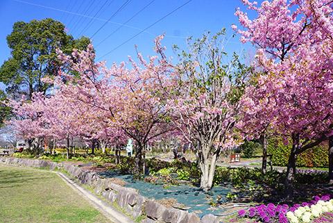 戸田川緑地の河津桜が満開