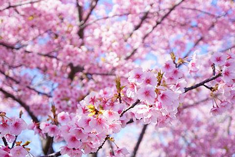 戸田川緑地の河津桜