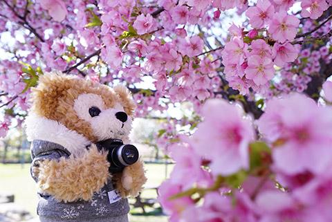 ダッフィーと桜