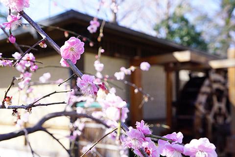 戸田川緑地の梅の花