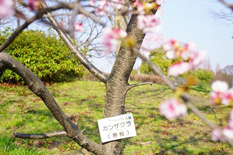 戸田川緑地のカンザクラ