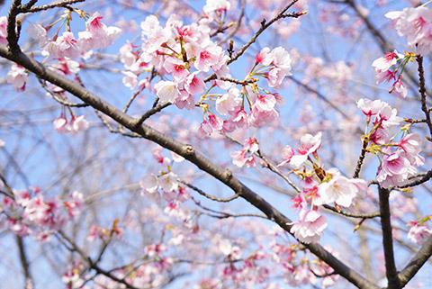戸田川緑地の桜