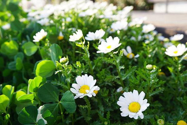 戸田川緑地のデイジー