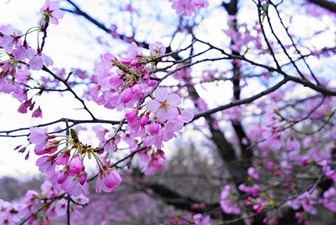 桜咲く東山植物園