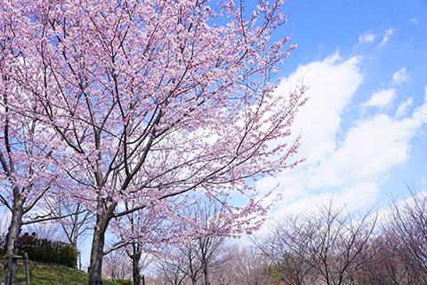 東山植物園、桜の回廊
