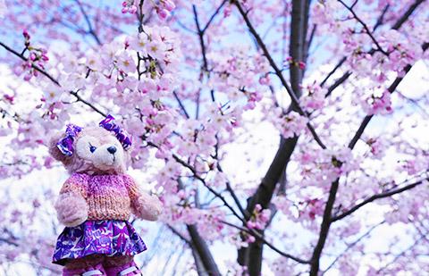 桜とマイシェリーメイ記念撮影