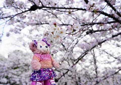 さくら咲く荒子川公園
