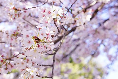 荒子観音の桜